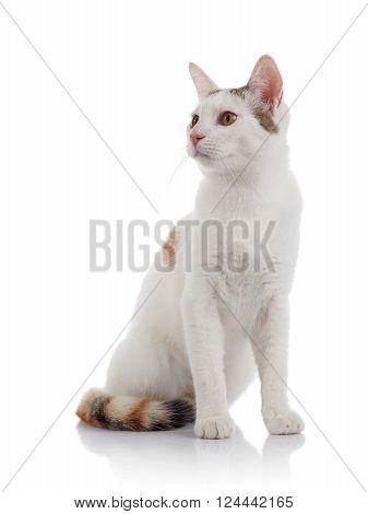 white domestic cat with a multi-colored striped tail sits on a white background.