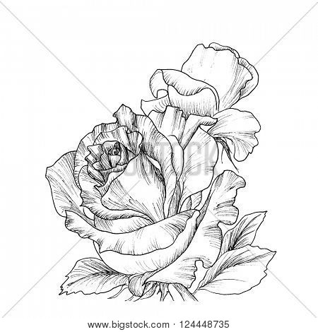 Highly detailed hand drawn roses isolated on white. Vector. Hand drawn artwork. Love concept for wedding invitations, cards, tickets, congratulations, branding, boutique logo, label.