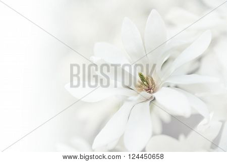 White magnolia blossoms natural background. Toned image.