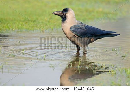 An Indian house crow (Corvus splendens) standing in water, India