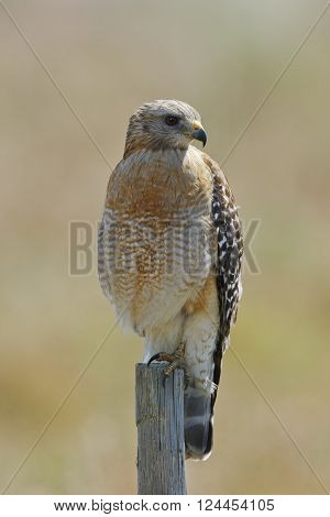 Red-shouldered Hawk Perched On A Fence Post - Florida