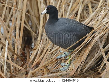 American Coot Standing On Dead Cattails - Florida