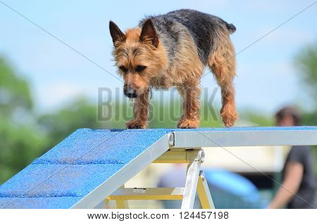 Australian Terrier Running on a Dog Walk at an Agility Trial