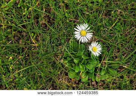 two daisies in the grass from above pretty flowers or lawn weed gardening concept with copy space selected focus on the flowers narrow depth of field