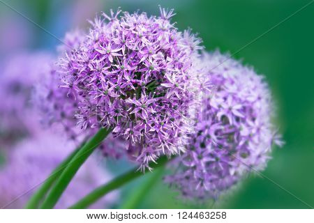 Allium flower on pastel background. Close up