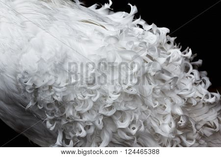 White curly feathers texture for background. Closeup