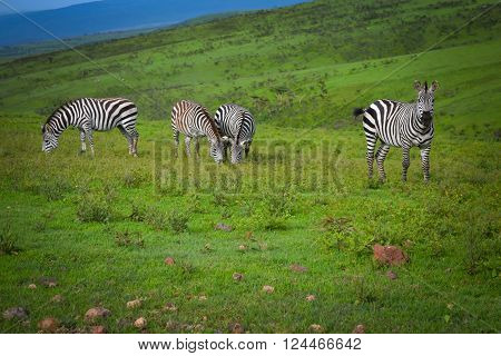 Nice striped zebras stands on green grass in savanna with blue sky adventure safari in Serengeti Tanzania Africa