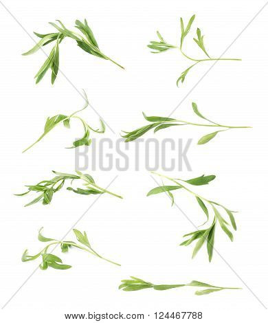 Green leaves of the Tarragon Artemisia dracunculus perennial aromatic culinary herb isolated over the white background, set of multiple images