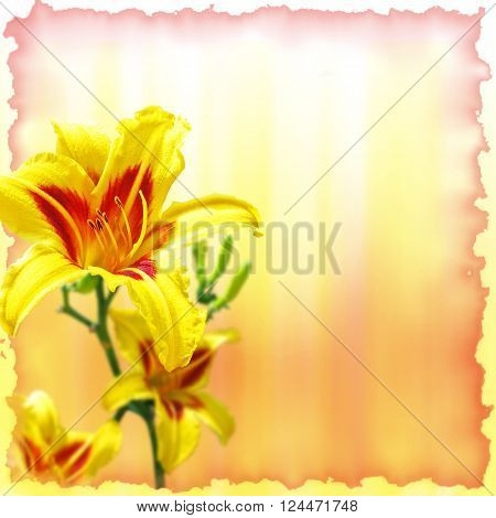 hemerocallis flowers on yellow and red background with frame