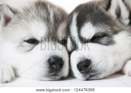 muzzles of sleeping Siberian husky puppy dogs