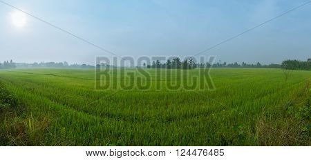Panorama of the paddy rice field under the sun in Nakorn Chaisri, Thailand