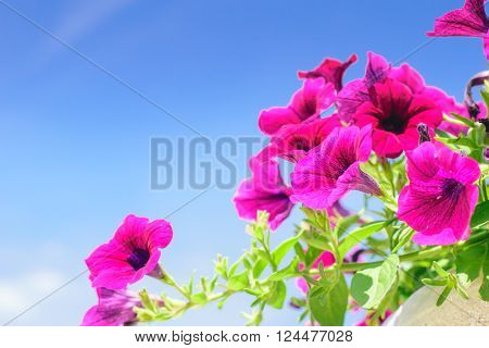 colorful of petunia flower in the garden