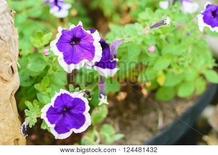 Image of Petunia Flowers in the Garden