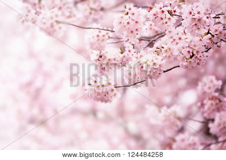 Cherry blossom in full bloom. Shallow depth of field. Focus on center flower cluster.