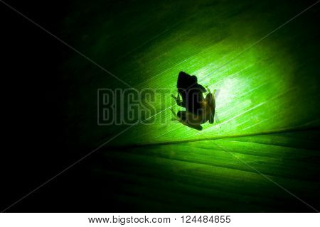 Silhouette of Rana commonly known as the pond frog or brown frog is a genus of frogs in natural habitat through green leaf Sniharaja rainforest Sri Lanka