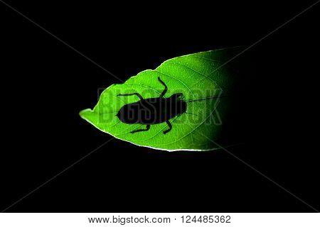 Bug silhouette through green leaf - Sniharaja rainforest Sri Lanka