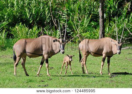 Gemsbok Family In Grass