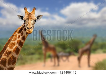 Giraffe On Savannah In Africa