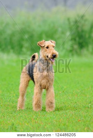 Airedale Terrier outdoors portrait over blurry background ** Note: Visible grain at 100%, best at smaller sizes