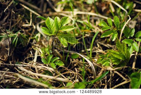 Young plant growing in the forest on spring. Green plants growth. Young plant sapling tree sprout in spring forest under sunlight closeup view. Selective focus.