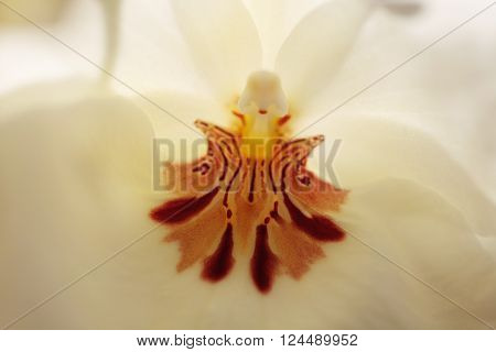 Macro of the deep red pattern on a white pansy orchid Miltoniopsis background in spring.