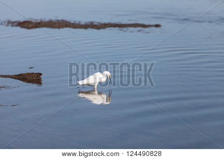 Snowy Egret, Egretta thula, bird forages in a marsh in Huntington Beach, Southern California, United States
