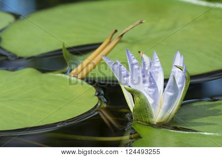 Nymphaea Caerulea - Blue Lotus Of Egypt