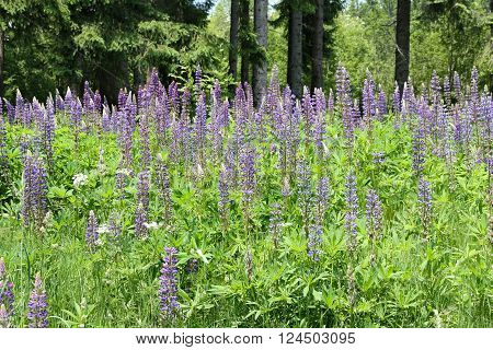 Wild Lupines in the well reserved European forests