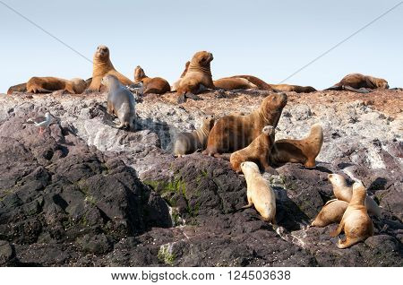 Group of sea lions sitting on rocky island near Patagonian shore in Argentina
