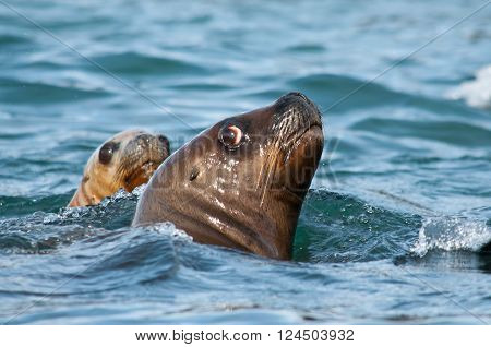 Pair of sea lions swimming in the Atlantic ocean near Patagonian shore in Argentina ** Note: Soft Focus at 100%, best at smaller sizes