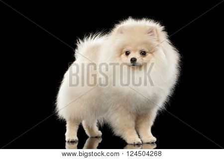 Cute White Pomeranian Spitz Dog Standing on Mirror isolated on Black Background