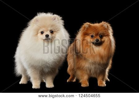 Two Fluffy White and Red Pomeranian Spitz Dogs Standing in Front view on Black isolated Background