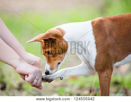 Concept: young basenji dog guesses which hand