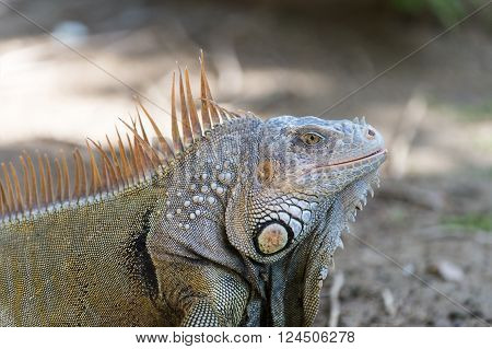 Big Turtle Iguana Lizard