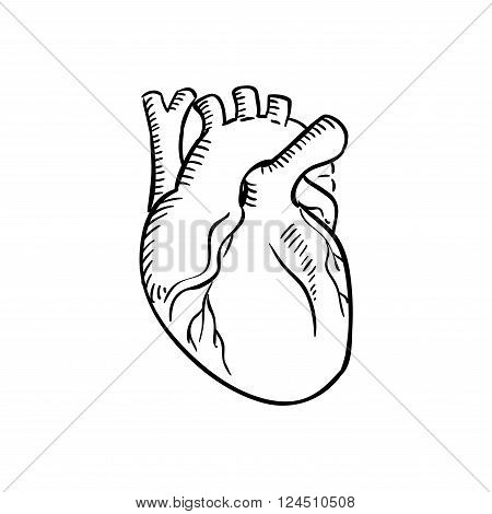 Human heart outline sketch. Isolated anatomical detailed organ of human circulatory system for healthcare, cardiology, anatomy or another medicine theme design