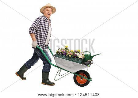 Mature gardener pushing a wheelbarrow full of gardening equipment and flowers isolated on white background