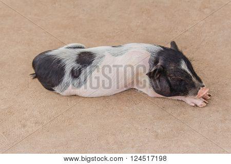 cute little pink pig sleeping in farm