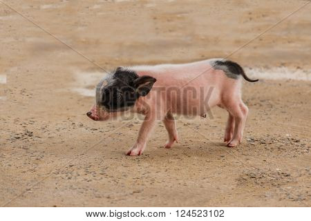 little pink and black pigs walking in farm