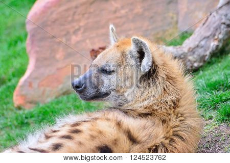 A one relaxed hyena lying on grass.