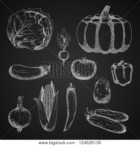 Vintage sketches of autumn harvest vegetables with chalk drawings of ripe pumpkin, tomato, onion, eggplant, potato, cabbage, sweet bell pepper, fresh cob of sweet corn, crunchy cucumbers and radish, spicy cayenne pepper on chalkboard