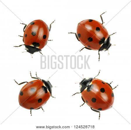 Ladybugs isolated on white background