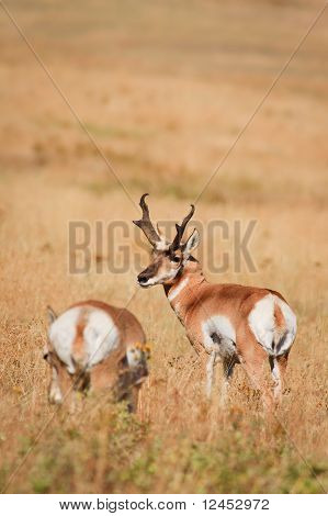 Pair Of Pronghorn Antelope