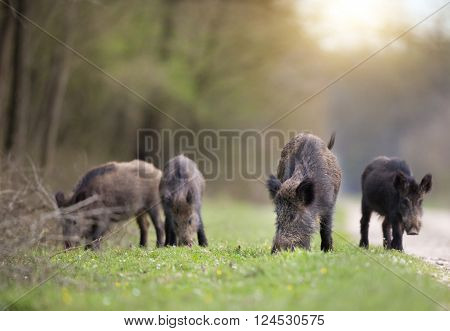 Wild Boars Sniffing In Forest