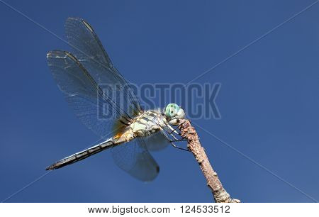 Dragonfly with a green body and blue eyes on a branch