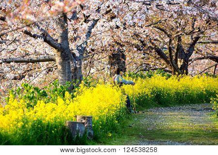 TOKYO, JAPAN - APRIL 08, 2014: People enjoy cherry blossoms (sakura), Tokyo