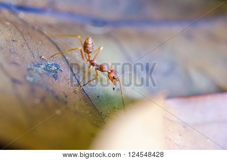 Rude Ant Formica