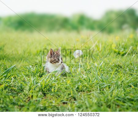 Curiosity kitten looking at white dandelion on summer meadow front view