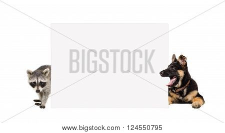 German Shepherd puppy and raccoon, peeking from behind banner, isolated on white background