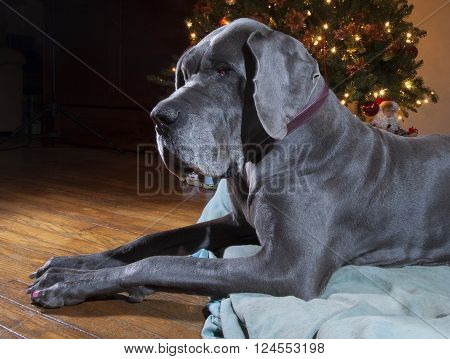 Blue Great Dane laying on its bed next to a Christmas tree