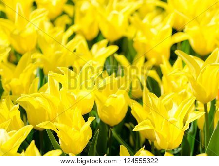 Bright field of star-shaped yellow tulips. Lilly like tulips